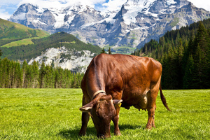 swiss cow_shutterstock