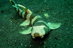 Bamboo shark (flickr)