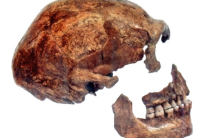 neanderthal skull (wikimedia commons)