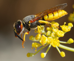 wasp (wikimedia commons)