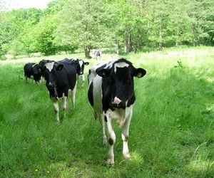 rfid cows