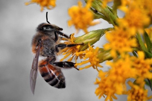 Honeybee_large