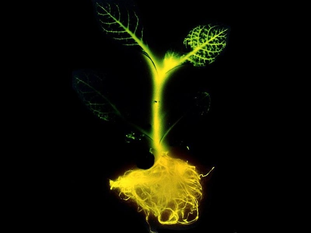 Glowing Plants on Kickstarter (credit: Glowing Plants)