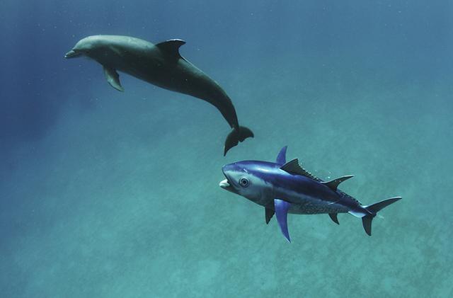 Dolphin tunaspycam