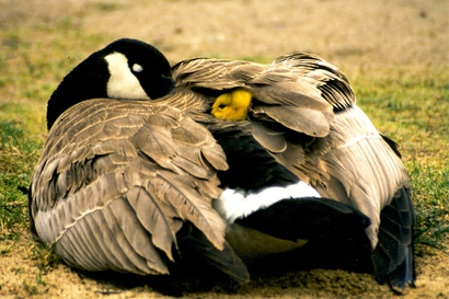 Betty_fisher_canada_goose_with_gosling_under_wing