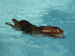 Swimming_bunny