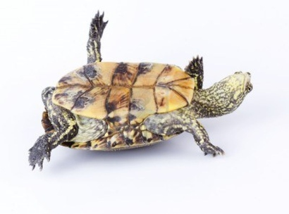 15414644-turtle-upside-down-on-its-back-isolated-on-white