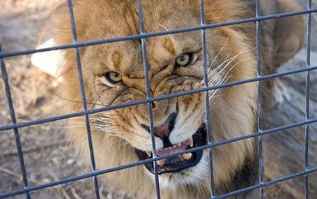 Caged_lion_1397649c_medium