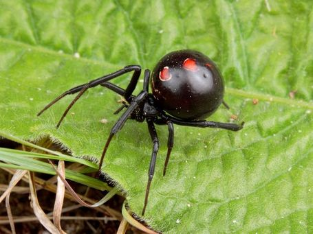 Black-widow-spider_469_600x450_medium