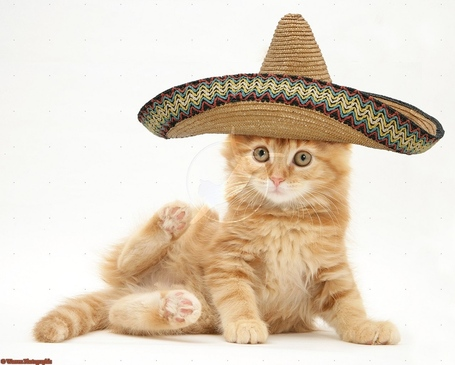19634-ginger-maine-coon-kitten-with-sombrero-hat-on-white-background_medium