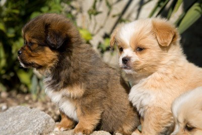 4813334-young-happy-puppies-playing-at-the-garden_medium