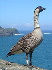 180px-branta_sandvicensis_-kilauea_point_national_wildlife_refuge_2c_hawaii_2c_usa-8_medium