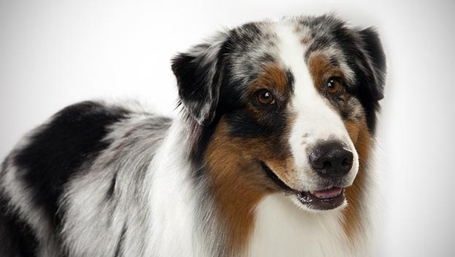Australian-shepherd_04_lg_medium