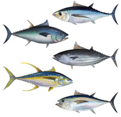 250px-tuna_assortment_medium