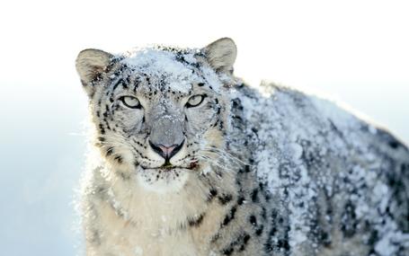 Snow-leopard_medium