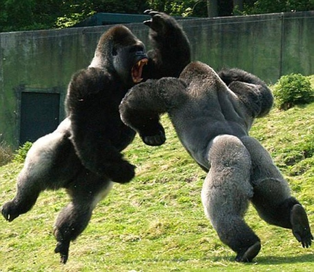 Male_gorillas_fighting_medium