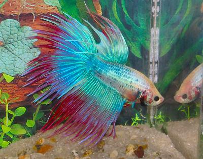 Betta-betta-fish-34361850-400-313_medium