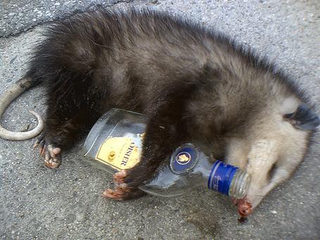 Opossum-drunk_medium