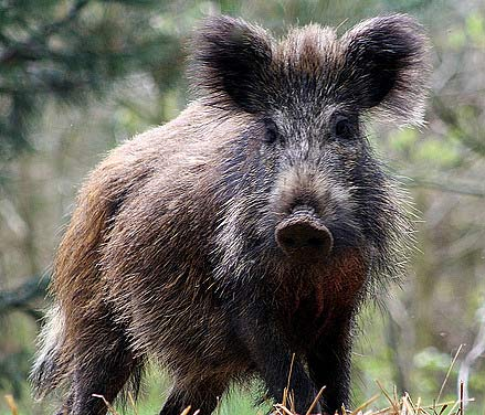Scruffy-wild-boar_medium
