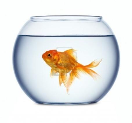 8120527-goldfish-in-a-fishbowl_medium