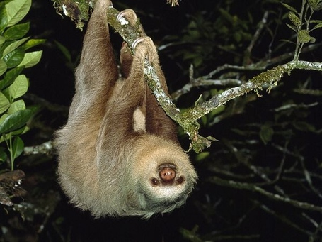 Two-toed-sloth_744_600x450_medium