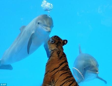 Tiger-dolphin-bff-10300-1236397794-11_medium