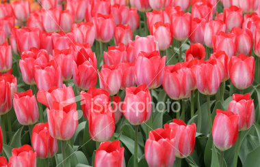 Istockphoto_6086899-red-blush-tulips_medium