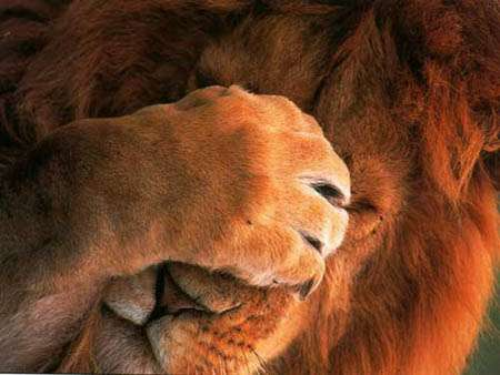 Lion_facepalm_medium