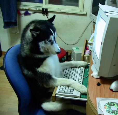 Husky-on-a-computer-28817-1238733234-2_medium