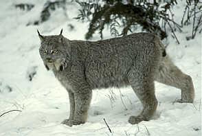 Lynx_medium