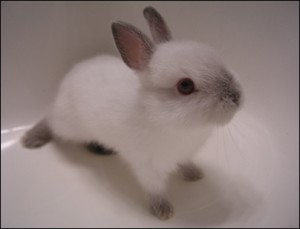 fluffy-baby-bunny