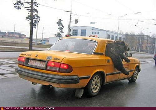 wtf_pics-bear-in-taxi1