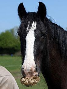 alfie-horse-mustache