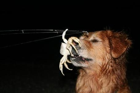 Crabdog_medium