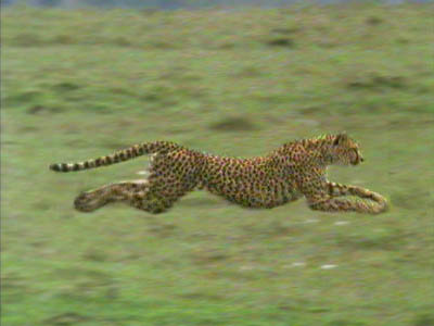 Running_20cheetah_medium