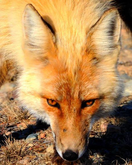 Fox_medium