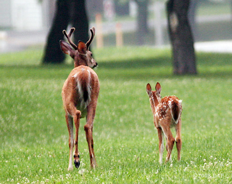 Buck-and-fawn-cayuga-heights_medium