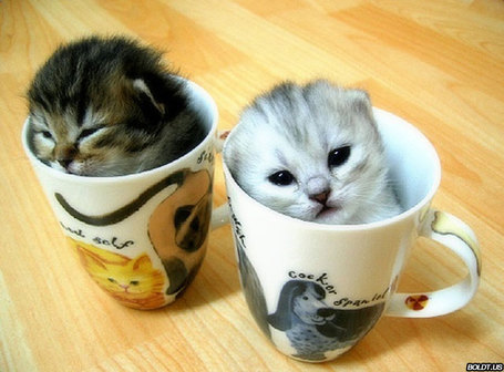 Funny_picture_kittens_in_a_teacup_medium