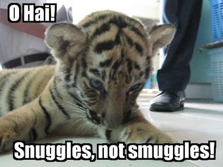 Lolcat-tiger-cub_medium