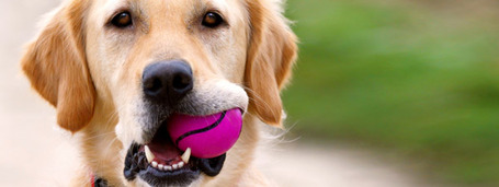 Golden-retriever-holding-ball_medium