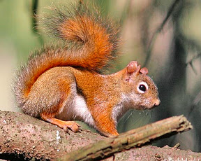 Red_252520squirrel_medium
