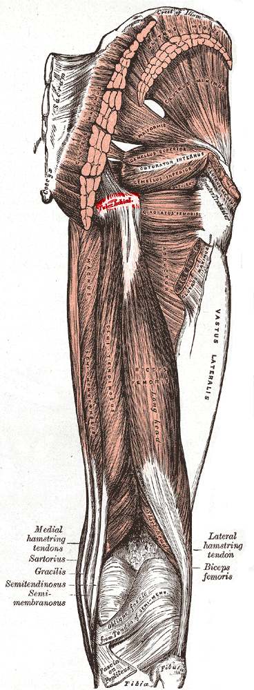 Tuberosity_of_the_ischium_png_medium