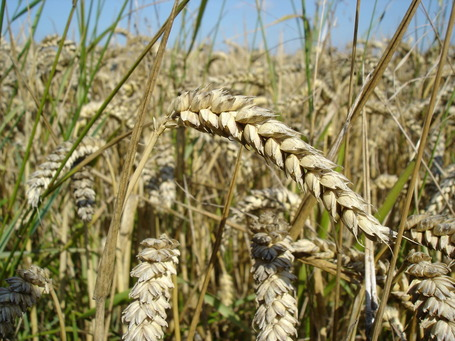 Wheat_close-up_jpg_medium