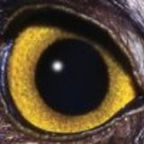 Hawk_eye