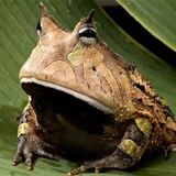 Amazon-horned-frog