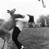 Kangaroo_punching_woman-11959