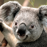 Koala