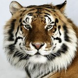Bengalbrisd_icon
