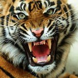 Angry-tiger