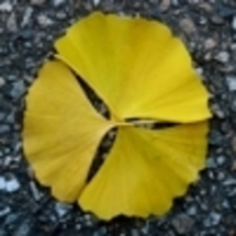 Ginko_leaves